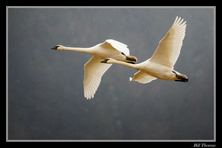 Trumpeter Swans flying in the snow-2