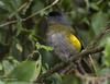 Black-and-yellow Silky-flycatcher (Phainoptila melanoxantha) ♀ (Gmo_CR) Tags: phainoptilamelanoxantha blackandyellowsilkyflycatcher capulineronegroyamarillo comemoras costarica coronado monserrat hembra female