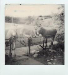 clarkdale burros on christmas day (EllenJo) Tags: sx70 instantfilm polaroid bw polaroidoriginals theimpossibleproject impossibleproject december25 2017 clarkdaleaz clarkdaleburros donkeys smalltownlife arizona az ellenjo