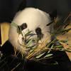 giant panda Ouwehands BB2A3844 (j.a.kok) Tags: panda giantpanda grotepanda bamboebeer bamboobear beer bear ouwehands animal china asia azie mammal zoogdier dier