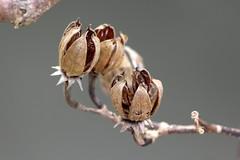 Hibiscus tiliaceus fruit 1906 (Mike Bayly) Tags: taxonomy:binomial=hibiscustiliaceus geo:country=australia hibiscus hibiscustiliaceus malvaceae coastcottonwood cottonwoodhibiscus arfp nswrfp qrfp lowlandarf littoralarf galleryarf arffs brownarffs