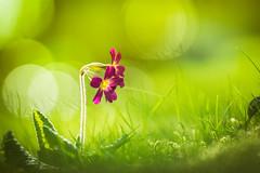 Soon - 6/365 (der_peste) Tags: flower bokeh spring bubbles blur dof depthoffield shallowdepthoffield macro nature green sonya7ii walimexpro1352 walimex 135mm f2 samyang samyang1352
