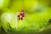 Soon - 6/365 (der_peste (on/off)) Tags: flower bokeh spring bubbles blur dof depthoffield shallowdepthoffield macro nature green sonya7ii walimexpro1352 walimex 135mm f2 samyang samyang1352