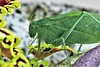 "The ""Leaf"" With Eyes (Jan Nagalski) Tags: insect katydid broadwingedkatydid green greenbug nature wildlife gardeninsect noisyinsect southeastmichigan michigan summer jannagalski jannagal leaf camouflage"