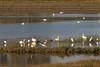 grote zilverreiger & knobbelzwaan / great white heron & swan (nature photography by 3620ronny.be) Tags: maasvallei grensmaas dieren vogel water vogels swan groep grotezilverreiger belgie sigma watervogels birds nederland outdoor canon nederlandslimburg limburg zwaan zon zwanen nature sigma150600mmf563sports overstromingsgebied herbricht maas www3620ronnybe naturephotography natuurfotografie greatwhiteheron canoneos7dmark2 animals maaskant 2017