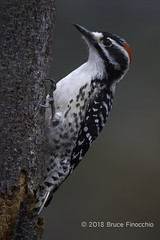Male Nuttall's Woodpecker Clings To The Bark Of A Tree Trunk (brucefinocchio) Tags: malenuttallswoodpecker nuttallswoodpecker woodpecker picoidespubescens picadae bird avian perched portrait clinging bark peelingbark treetrunk sanlorenzocreek castrovalley eastbay northerncalifornia