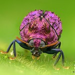 Chlamisus sp.? Chrysomelidae, Cryptocephalinae thumbnail