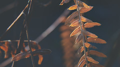 Sunshine (Vincent Monsonego) Tags: sony α αlpha alpha ilce7rm2 a7rii a7r2 zeiss sonnar t fe 55mm f18 za sel55f18z prime lens leaf winter autumn orange life cold warm