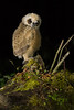 Striped Owl (Pseudoscops clamator) perched on branch (Chris Jimenez Nature Photo) Tags: night owl baby leastconcern perched mossy birdofprey owlet bird stripedowl costarica pseudoscopsclamator sideview branch chris jimenez raptor frontview oneanimal