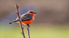 Vermilion Flycatcher (Bob Gunderson) Tags: birds california coyotevalley empidonaxflycatchers flycatchers northerncalifornia pyrocephalusrubinus santaclaracounty southbay vermilionflycatcher