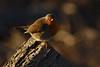 Robin Goch (MeirionWyn) Tags: northwales robin wales 2018 denbighshire nature birds wildlife river clwyd vale rhuddlan