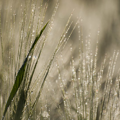 Carré d'argent **---+ (Titole) Tags: barley dew squareformat grass titole nicolefaton friendlychallenges thechallengefactory
