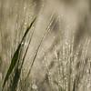 Carré d'argent **---+ (Titole) Tags: barley dew squareformat grass titole nicolefaton friendlychallenges thechallengefactory
