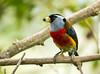 IMG_7247  Toucan Barbet