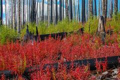 588700714 (leanne.rone) Tags: forestfire charred methowvalley washingtoncascades okanogannationalforest winthop wa unitedstates usa