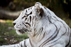 Zoo_20171121_059 (falconn67) Tags: zoo zoonewengland cat bigcat animal franklinpark franklinparkzoo tiger whitetiger canon 5dmarkiii 35350mmf3556usml