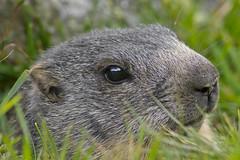 Marmot 2.0 (jakobgfreiner) Tags: murmeltier marmot salzburg austria
