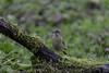 Verdier d'Europe femelle (Philippe Renauld) Tags: verdier deurope femelle oiseaux domaine mazères ariège calmont occitanie france fr homzd thomaas