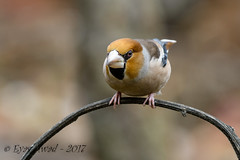 xxD40_3524 (Eyas Awad) Tags: eyasawad nikond4 sigma500f45 nikond800 nikonafs300mmf4 bird birds birdwatching wildlife nature frosone coccothraustescoccothraustes