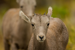 If looks could... (ChicagoBob46) Tags: rockymountainbighornsheep bighornsheep sheep yellowstone yellowstonenationalpark nature wildlife ngc coth5 npc