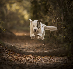 White men CAN jump (Paul M Loader) Tags: jumping flying rescue dog canon eos 5d mark iv ef135mm f2l usm caringfortheanimalstrust dogstarphotography