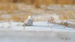 Snow Owl (johnbacaring) Tags: snow snowyowl owl wildlife nature raptor birdsofprey birding newjersey beach