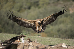 Griffon Vulture landing (Josh13770) Tags: buitre vulture griffon alberite photonature landing flying nikon nikkor 200500mm vr