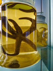 The Starfish Jars (Steve Taylor (Photography)) Tags: brown blue yellow closeup glass uk gb england greatbritain unitedkingdom london alcohol naturalhistory naturalhistorymuseum samplejar specimen writing starfish label reflection refraction
