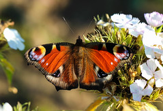 Butterfly (LuckyMeyer) Tags: schmetterling tagpfauenauge butterfly insect red summer garden flower fleur