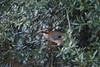 Ghiandaia (Garrulus glandarius) (IvanFas) Tags: jay uccelli birds natura animali animals albero leccio trees