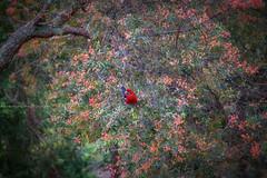 Merry XMAS || BLUE MOUNTAINS || AUSTRALIA (rhyspope) Tags: australia aussie nsw new south wales canon 5d mkii christmas happy merry xmas bird native rosella animal crimson winmalee blue mountains rhys pope rhyspope tree bush