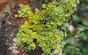 Lichen Tree Trunk (Orbmiser) Tags: olympus40150mmf4056r 43rds em1 mirrorless omd olympus ore portland tree lichen
