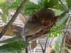 Tarsier Monkey (vernhart) Tags: philippines tagbilaran bohol zoo monkey tarsier