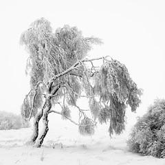 F R O Z E N   T R E E (frank-heinen-photographer) Tags: schnee landscape stimmung ©wwwfrankheinenphotographerde frilufts hochmoor eifel outdoor kalt cold hohesvenn frozen hautesfagnes fujifilmxt2 moor tree travel landschaft winter mood eis xf1655mmf28rlmwr highfens outdoorlife snow ice ngc