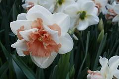 april9ththru16th 104 (condor avenue) Tags: april9ththru16th daffodils springflowers skagit skagitcounty tulipfestival daffodilfields tulipfields washington