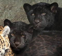 jaguar artis BB2A2689 (j.a.kok) Tags: jaguar jaguarcub jaguarwelp blackjaguar zwartejaguar rica zuidamerika southamerica artis kat cat animal mammal zoogdier dier predator pantheraonca