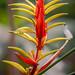 Heliconia Venusta Jardin Botanico del Quindio Colombia