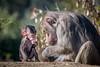 Intently Watching Mom (helenehoffman) Tags: mother africarocks sandiegozoo conservationstatusleastconcern monkey primate mammal baby ethiopianhighlands motherandchild papiohamadryas baboon oldworldmonkey hamadryasbaboon animal parent