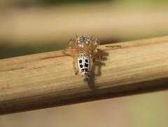 Chiang Mai Salticidae (Phil Arachno) Tags: thailand salticidae arachnida spider spinne chiangmai arthropoda chelicerata