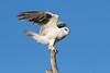 Black-Shouldered Kite (The Gullet) Tags: nikon d500 tamron 150600 raptor kite black shouldered dogfight south australia