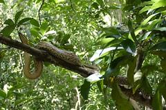 Lokobe National Park boa constrictor