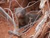 SouthAfrica2-Timbavati-25_2017-09-26 (sabine.haecker) Tags: südafrika safari southafrica timbavati krüger mongoose