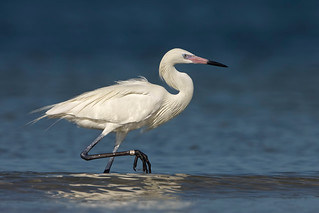 White Morph Reddish Egret..