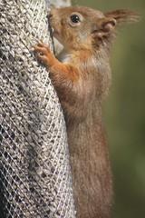 Hanging on! (alison2mcewan) Tags: redsquirrel animal wildlife squirrel british