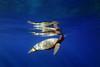 IMG_0083 (Aaron Lynton) Tags: lyntonproductions ocean flounder turtle honu maui hawaii underwater canon g1x art