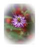 Purple Haze (Jocey K) Tags: newzealand nikond750 southisland akaora loveinthemist flower nigella