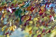Maple Leaves in Wind (Fiddling Bob) Tags: foliage leavesturning mapleleaves fallcolor film pentaxp3n m42 supertakumar13525 vintagelenses