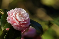 Merry Christmas and Happy New Year! (hanley.will) Tags: flower floral camellia dukegardens sarahpdukegardens sarahdukegardens bokeh composition flowers white blur natural nature dukeuniversity northcarolina durham scent winter holiday light day