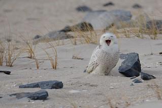 Snowy Owl - LOL