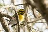 DSC_1063.jpg Townsend's Warbler, Twin Lakes (ldjaffe) Tags: twinlakes